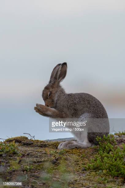 close-up of rabbit on field,vestbygda,norway - images stock pictures, royalty-free photos & images
