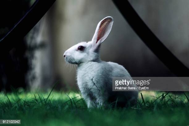 close-up of rabbit on grass - white rabbit stock pictures, royalty-free photos & images