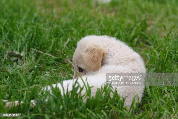 close-up of rabbit on grass,italia,italy - pastore maremmano foto e immagini stock