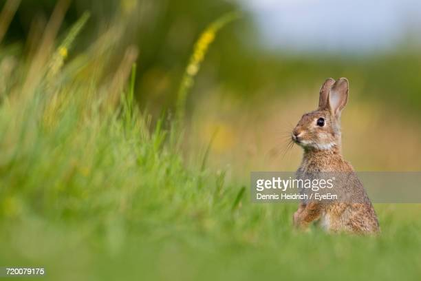 close-up of rabbit outdoors - lagomorphs stock pictures, royalty-free photos & images