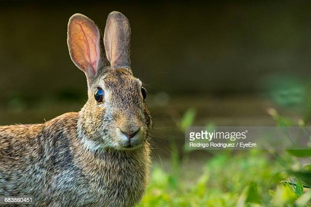 close-up of rabbit - animal ear stock photos and pictures