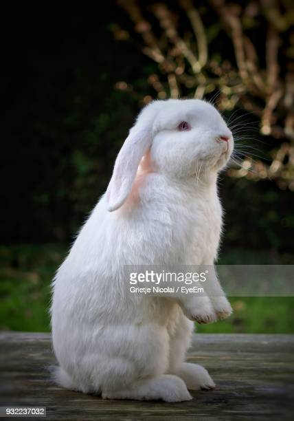 close-up of rabbit - white rabbit stock pictures, royalty-free photos & images