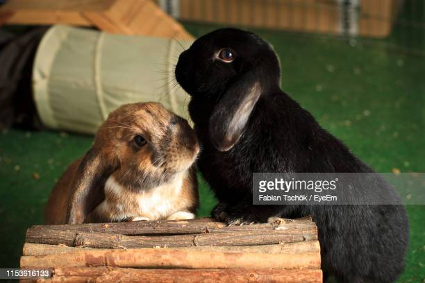 close-up of rabbits by wood at home - two animals stock pictures, royalty-free photos & images
