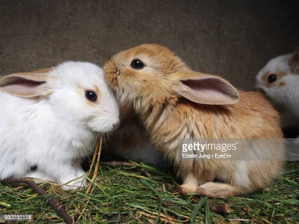 close-up of rabbits on grass - domestic animals stock photos and pictures
