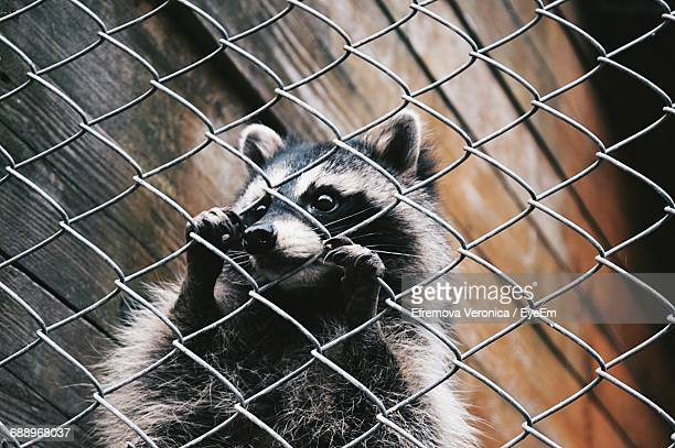 Close-Up Of Raccoon Behind Chainlink Fence