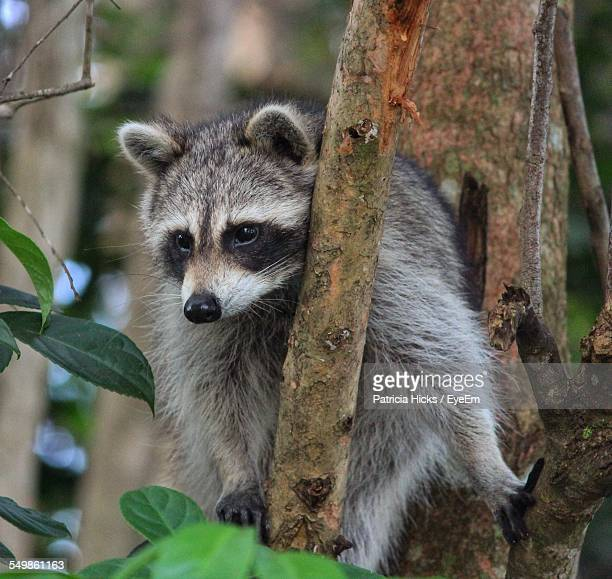 Close-Up Of Raccoon On Tree In Forest