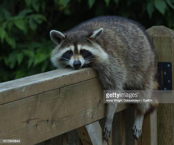 close-up of raccoon on wood - raccoon stock pictures, royalty-free photos & images