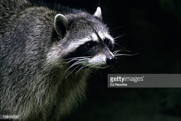 Closeup of Raccoon, Procyon lotor, Michigan, USA