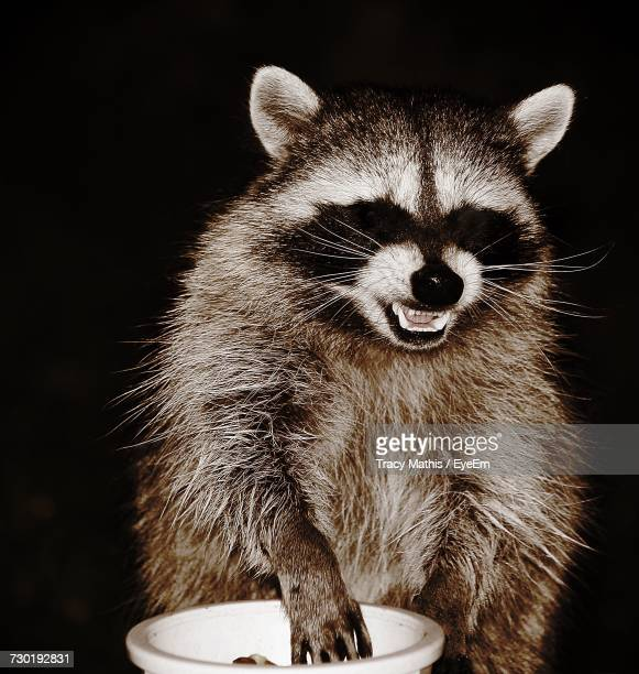 close-up of raccoon with bowl against black background - raccoon stock pictures, royalty-free photos & images