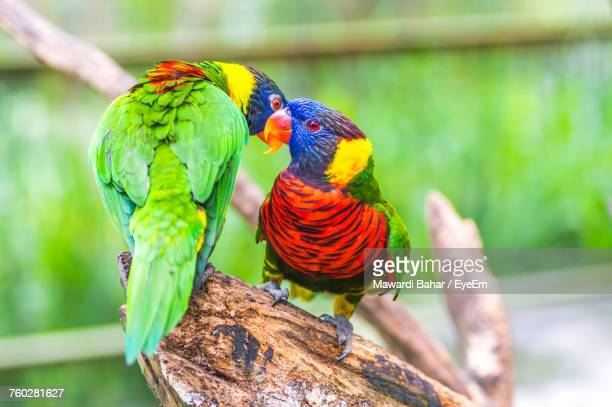 Close-Up Of Rainbow Lorikeets Perching On Branch At Zoo