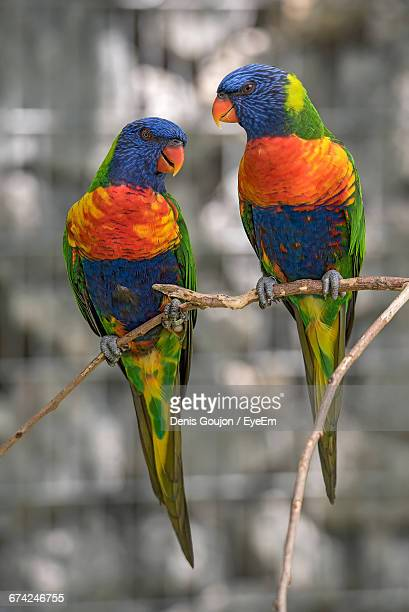 Close-Up Of Rainbow Lorikeets Perching On Branch