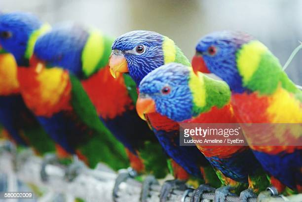 Close-Up Of Rainbow Lorikeets Perching On Fence