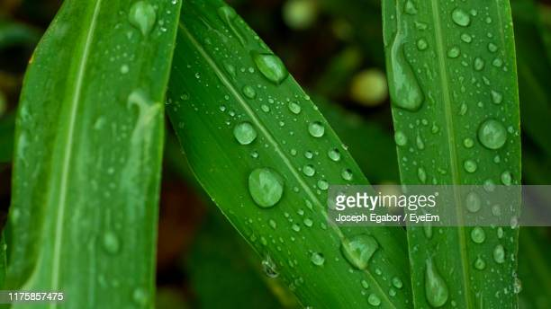 close-up of raindrops on leaves - lagos nigeria stock pictures, royalty-free photos & images