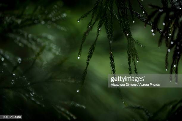 close-up of raindrops on pine tree branches, arashiyama, kyoto, japan - coniferous stock pictures, royalty-free photos & images