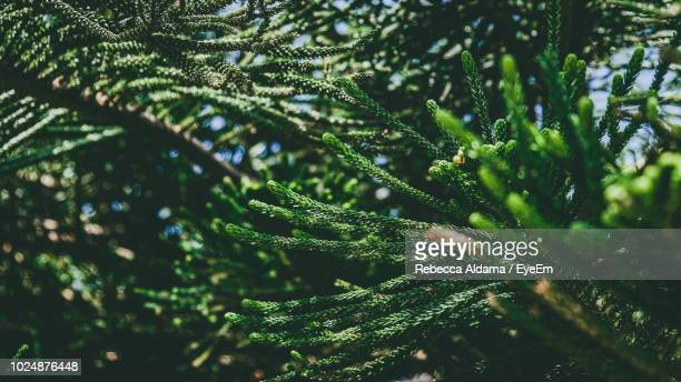 Close-Up Of Raindrops On Pine Tree