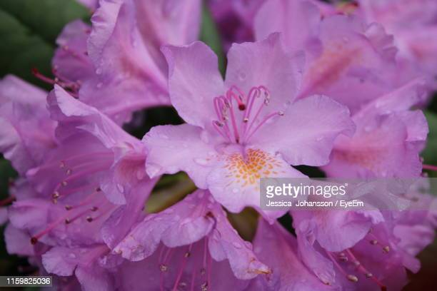 close-up of raindrops on pink flowering plant - vaxjo stock pictures, royalty-free photos & images
