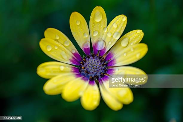 close-up of raindrops on yellow flower - jens siewert stock-fotos und bilder