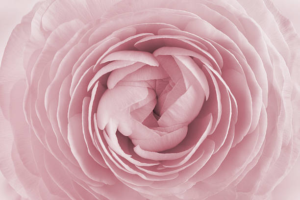 Free pink flower images pictures and royalty free stock photos closeup of ranunculus spring flower vintage floral pattern macro mightylinksfo Images