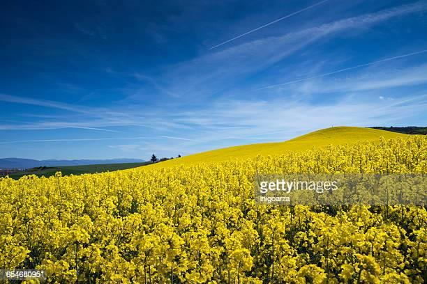 close-up of rapeseed field, vitoria-gasteiz, alava, spain - アラバ県 ストックフォトと画像