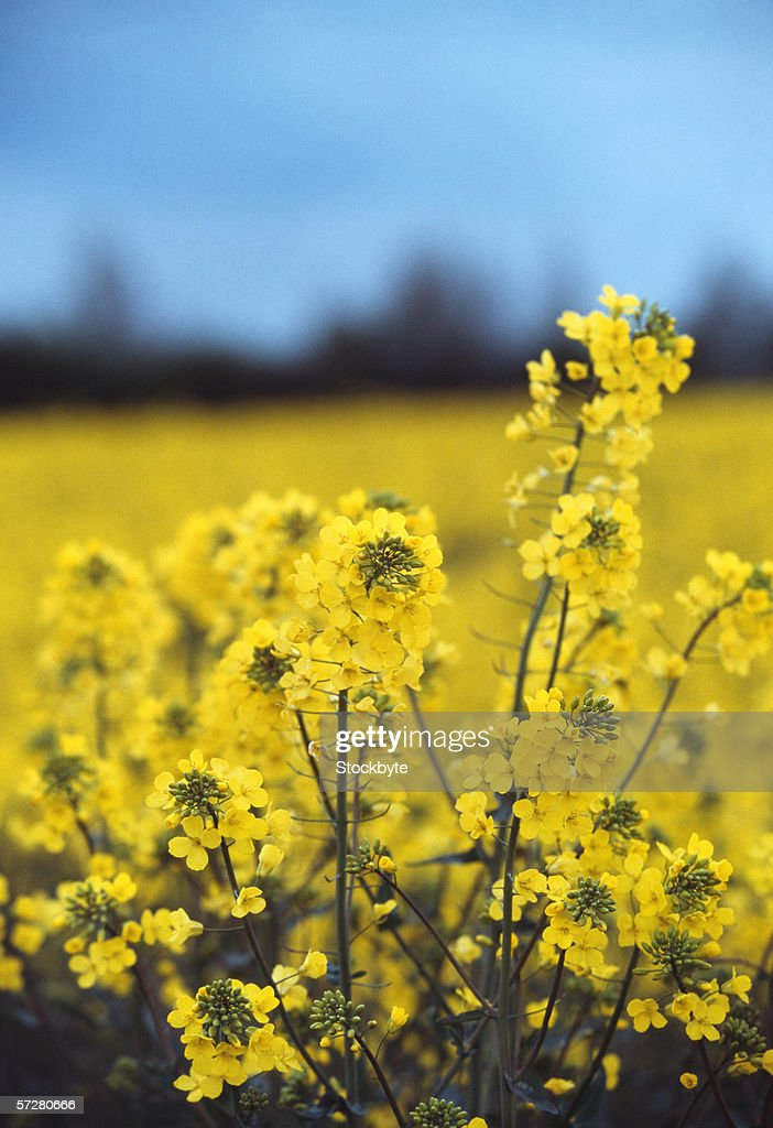Close-up of rapeseed in a field : Stock Photo