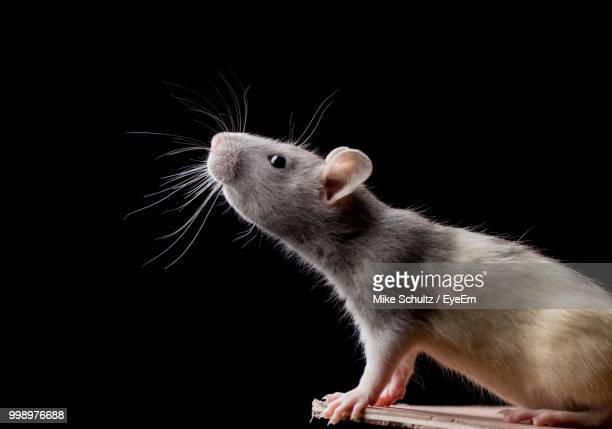 Close-Up Of Rat Against Black Background