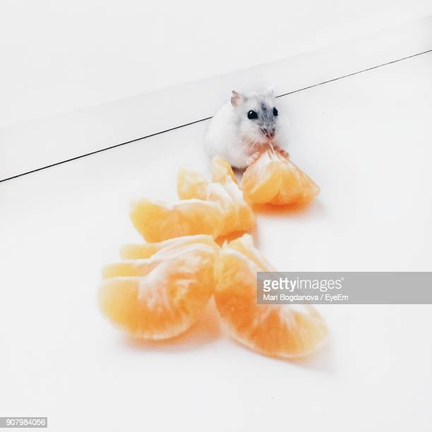 Close-Up Of Rat Eating Oranges Over White Background