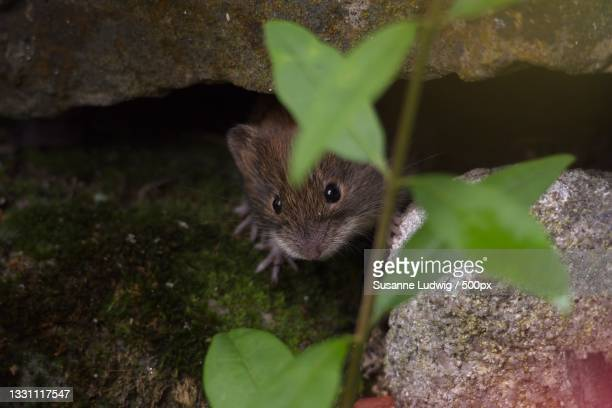 close-up of rat on rock,germany - susanne ludwig stock pictures, royalty-free photos & images