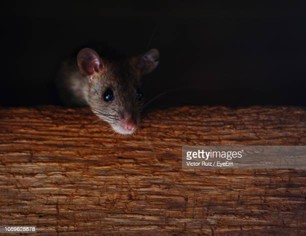 close-up of rat on table - rat stock photos and pictures