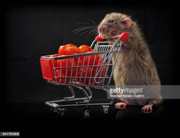 Close-Up Of Rat Rearing Up By Shopping Cart With Tomatoes Against Black Background