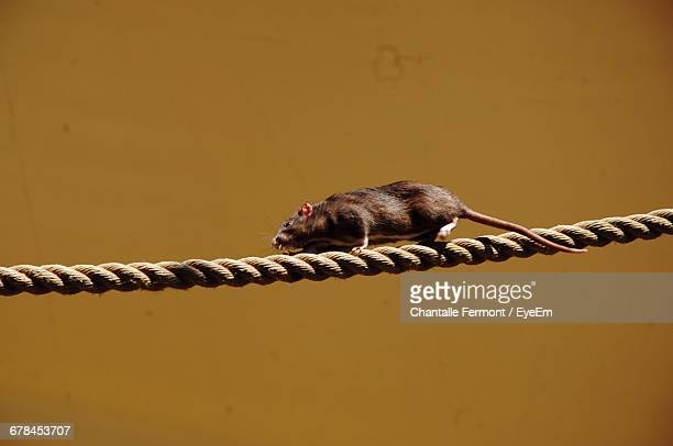 Close-Up Of Rat Walking On Rope Against Wall