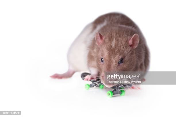 Close-Up Of Rat With Miniature Skateboard Over White Background