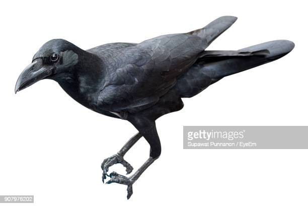close-up of raven against white background - ravens stock photos and pictures