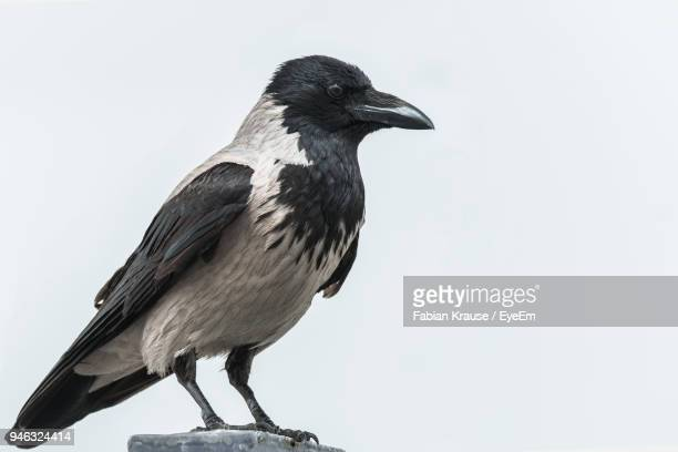 Close-Up Of Raven Against White Background