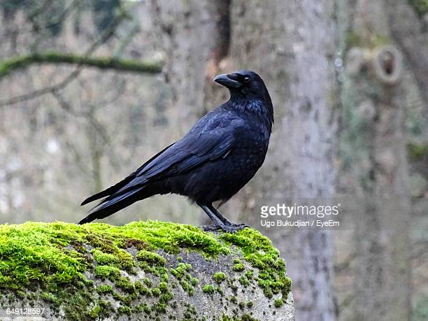 close-up of raven bird perching on rock - crow bird stock photos and pictures
