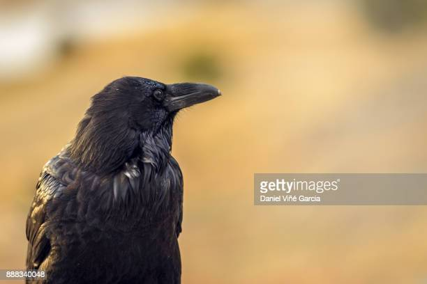 close-up of raven - crow bird stock photos and pictures