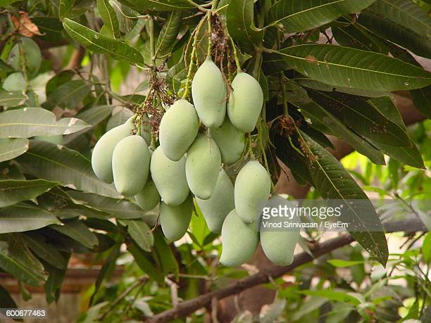 Close-Up Of Raw Fruits On Tree