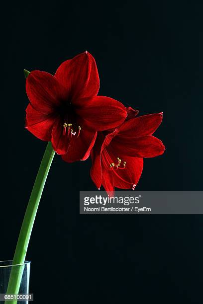 Close-Up Of Red Amaryllis Against Black Background