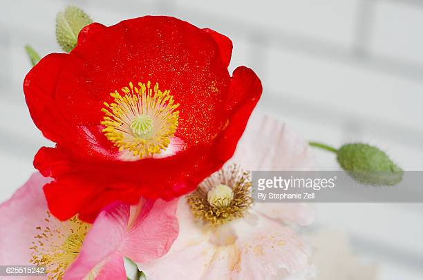 Closeup of red and pink opium poppies