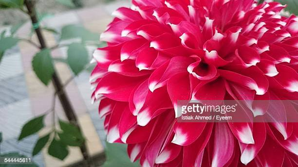 close-up of red and white flower - bangladeshi flowers stock pictures, royalty-free photos & images