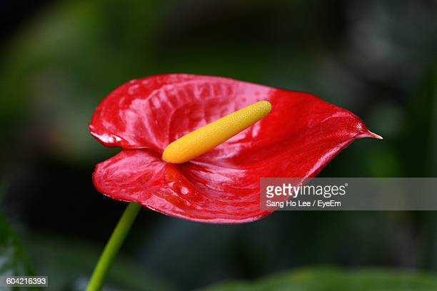 Close-Up Of Red Anthurium Blooming Outdoors
