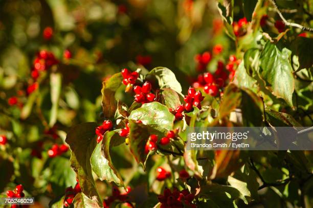 Close-Up Of Red Berries Growing On Plant In Garden