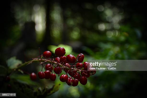 close-up of red berries growing on tree - dave faulkner eye em stock pictures, royalty-free photos & images