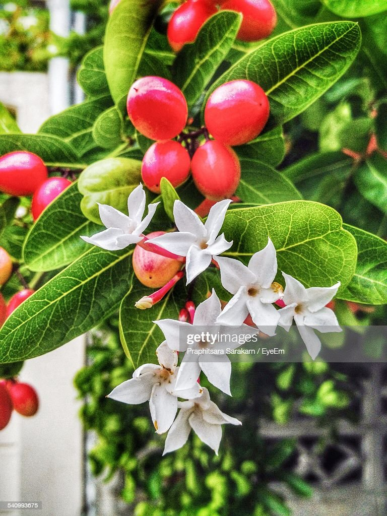 Closeup of red berries with white flowers growing outdoors stock close up of red berries with white flowers growing outdoors mightylinksfo