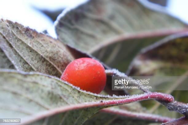 Close-Up Of Red Berry On Tree During Winter