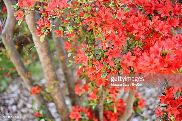 close-up of red blossom - maebashi city stock photos and pictures