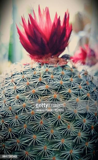 Close-Up Of Red Cactus Flower