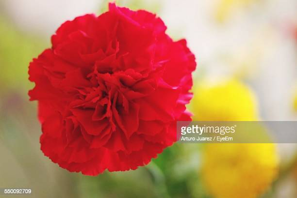 Close-Up Of Red Carnation Outdoors