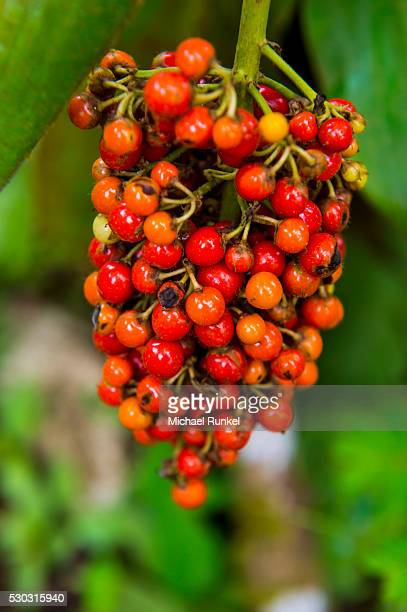 close-up of red coffee berries (rubiaceae) in the botanic garden of bom sucesso, sao tome, sao tome and principe, atlantic ocean, africa - sucesso photos et images de collection