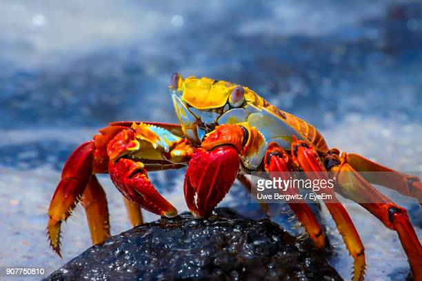 close-up of red crab on rock at beach - galapagos islands stock pictures, royalty-free photos & images