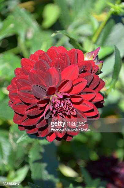 Close-Up Of Red Dahlia Blooming In Park
